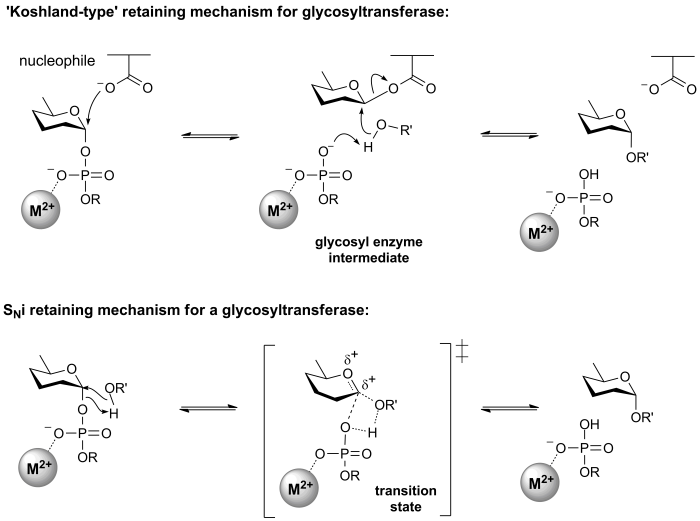 Retaining glycosyltransferase mechanism.png